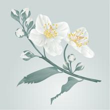 Twig Jasmine Flower And Buds Vintage Blue Background Vector Illustration