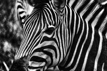 Fototapeta na wymiar Zebra Close Up