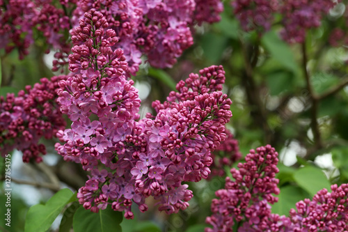 Fotobehang Lilac Blooming lilac flowers in the garden, outdoors