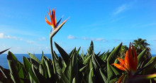 Strelitzia Reginae Flower Closeup (bird Of Paradise Flower). Madeira Island