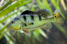 Butterfly Peacock Bass (Cichla Ocellaris)