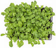 Sweet rucola salad or rocket lettuce leaves in pot isolated on w