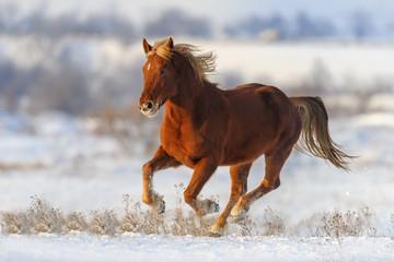 Red horse run gallop in winter snow field