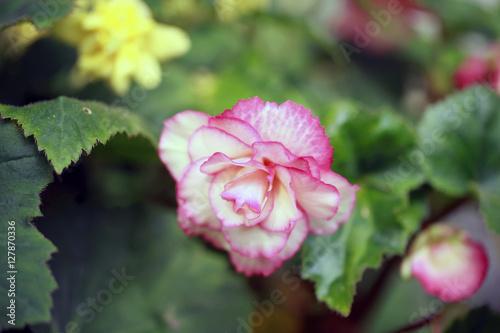 Fototapeta piękny kwiat w ogrodzie obraz
