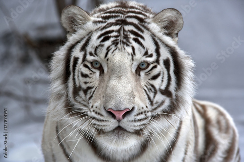 Carta da parati Face to face with white bengal tiger