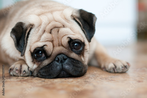 sad dog pug lying floor Fototapeta