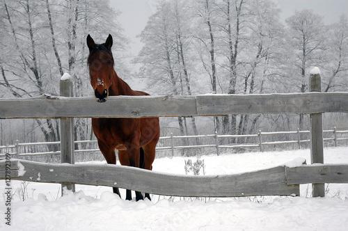 Fototapeta Koń w zagrodzie obraz