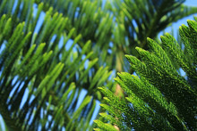 Abstract Background Of Norfolk Island Pine Tree