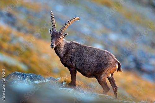 Fotografia  Animal from the Alp. Antler Alpine Ibex, Capra ibex, scratching