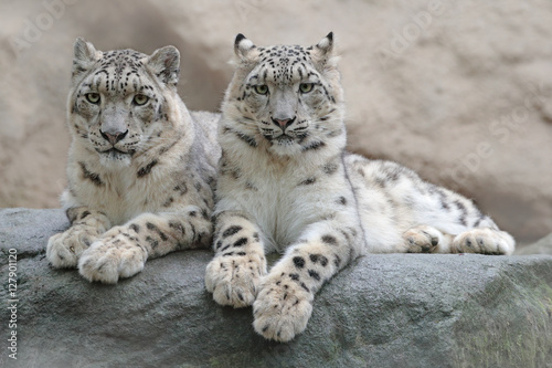 Deurstickers Luipaard Pair of snow leopard with clear rock background, Hemis National Park, Kashmir, India. Wildlife scene from Asia. Detail portrait of beautiful big cat snow leopard, Panthera uncia. Animals in the rock.