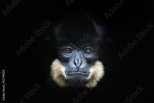 Cuadros en Lienzo Yellow-cheeked Gibbon, Nomascus gabriellae, detail portrait of wild monkey