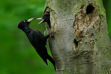 Woodpecker With Young In The Nest Hole. Black Woodpecker In The Green Summer Forest. Woodpecker Near The Nest Hole. Wildlife Scene With Black Bird In The Nature Habitat. Action Scene From Dark Forest.