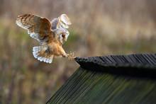Barn Owl, Tyto Alba, Bird Land...