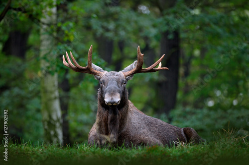 Moose, North America, or Eurasian elk, Eurasia, Alces alces in the dark forest during rainy day. Beautiful animal in the nature habitat. Wildlife scene from Sweden. Moose lying in grass under trees.