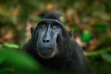 Celebes Crested Macaque, Macac...