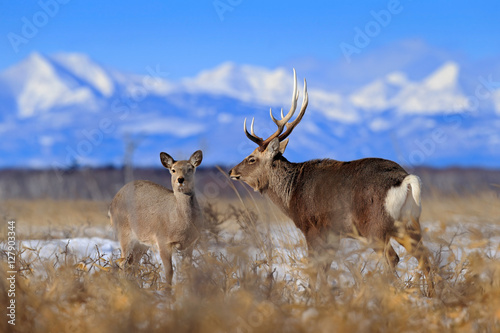 Papiers peints Arctique Pair of deer. Hokkaido sika deer, Cervus nippon yesoensis, in the snow meadow. Winter mountains and forest in the background. Animal with antler in the nature habitat, winter scene, Hokkaido, Japan