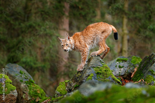 Poster Lynx Lynx, Eurasian wild cat walking on green moss stone with green forest in background. Beautiful animal in the nature habitat, Germany. Lynx climbing on the rock. Wildlife hunting scene, central Europe.