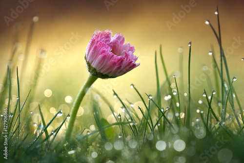 Beautiful flower pink daisy with soft focus of a summer morning in the grass with dew in the sunlight close-up macro. Romantic gentle elegant artistic image, round bokeh, blurred golden background.