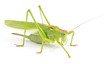 Big green grasshopper isolated