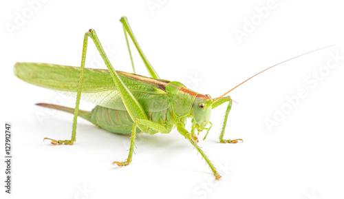 Canvas Print Big green grasshopper isolated