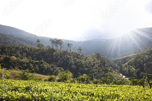Fotobehang Wit Landscape with green fields of tea in Sri Lanka