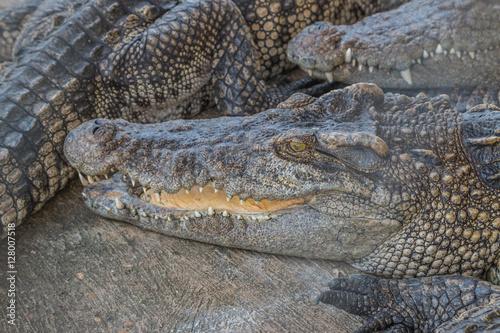 Photo  crocodile