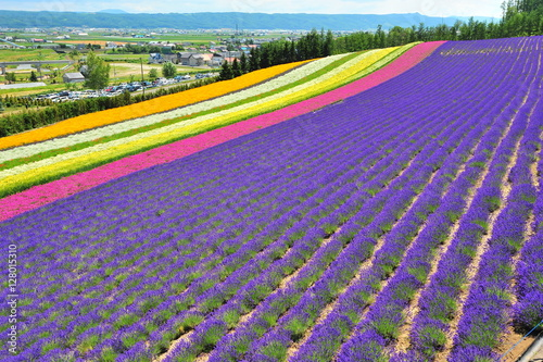 Poster Panoramafoto s Colorful Lavender Flower Fields