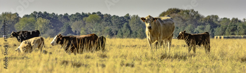 Photo Panoramic cows in a pasture