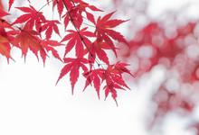 Maple Leaf Red Autumn Tree Blurred Background