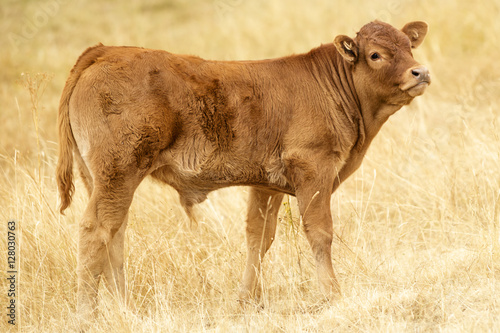Lonely Brown Cattle Canvas Print