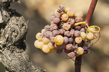 Noble Rot Of A Wine Grape, Gra...