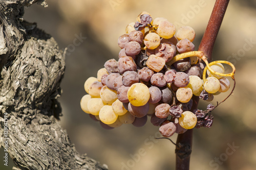 Fotografie, Obraz  Noble rot of a wine grape, grapes with mold, Botrytis