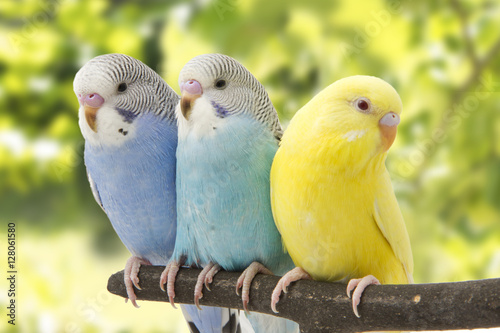 Poster de jardin Perroquets three budgies are in the roost