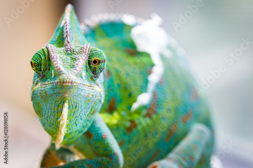 Spoed Foto op Canvas Kameleon Chameleon Macro Reptile 2 (Eyes Crooked)