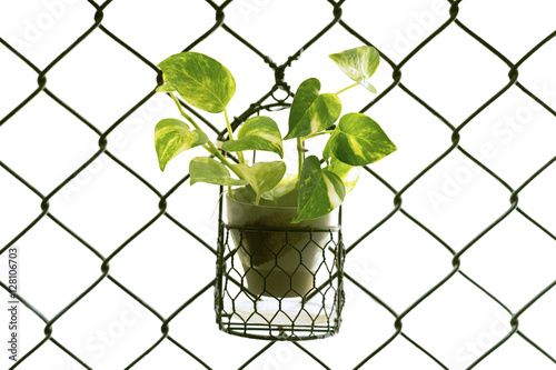 Fotografie, Obraz  Golden Pothos or Devil's Ivy in the pot and hanging on the wired cage, selective
