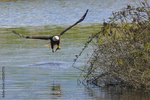 Fotobehang Vissen Bald Eagle Catching Fish