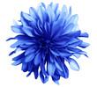 Leinwandbild Motiv blue flower on a white  background isolated  with clipping path. Closeup. big shaggy  flower. for design.  Dahlia.