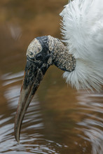 Closeup Of Wood Stork (Mycteri...