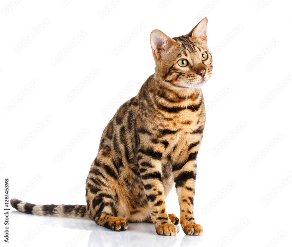 portrait of a purebred bengal cat on