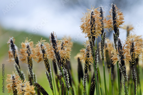 Fotografie, Obraz  Blossoming sedge with yellow pollen close up.