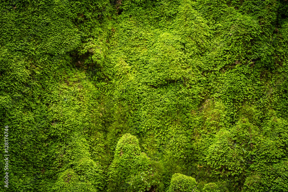 Fototapety, obrazy: Grooved green moss background in nature