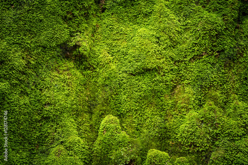 Fototapeta Grooved green moss background in nature