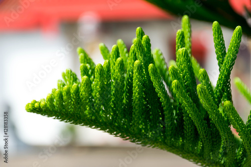 abstract background of Norfolk Island Pine Tree Canvas Print