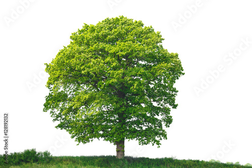 Oak Tree, isolated