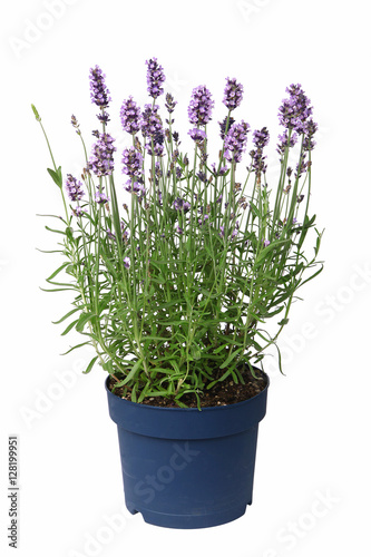 Door stickers Lavender Pot de lavande