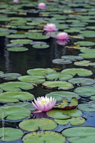 Fototapeten Natur Pink water lily over blue and green lake