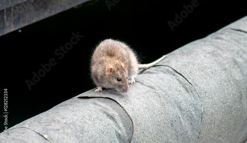 Photo  rat in nature