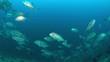 Big-eye Trevallies on a colorful coral reef. 4k footage