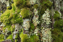 Flavoparmelia Caperata Macrolichens On Pine Bark With Green Moss