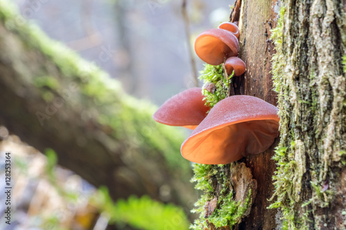 Photo Edible mushrooms known as Jelly ear